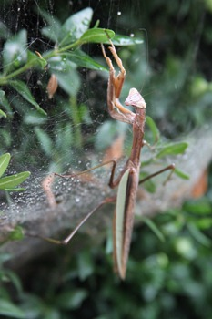 Praying Mantis on spider web-1