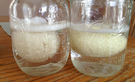 eggs in vinegar experiment