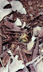 Imperial Moth Caterpillar-1-2